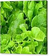Lettuce Sing Canvas Print