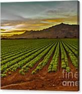 Lettuce Sunrise Canvas Print