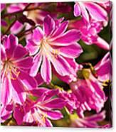 Lewisia Cotyledon Flowers Canvas Print