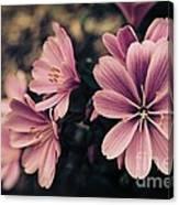 Lewisia Flowers - 7 Canvas Print