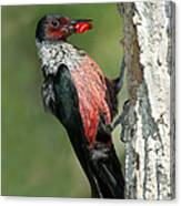 Lewiss Woodpecker With Fruit In Beak Canvas Print