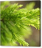 Leyland Cypress Golconda Canvas Print
