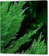 Leyland Cypress Green Canvas Print