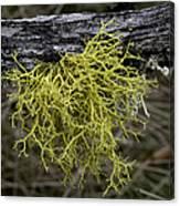 Lichen On Limb Canvas Print