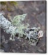 Lichens 2013 Canvas Print