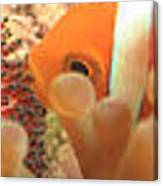 Life Cycle Of Anemone Fish Canvas Print