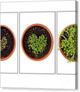 Life Of Cress On White Canvas Print