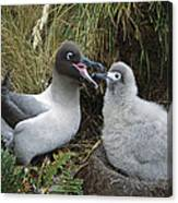 Light-mantled Albatross Feeding Chick Canvas Print