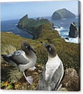 Light-mantled Albatrosses Courting Canvas Print