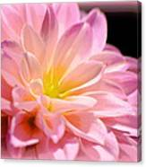 Light Pink Dahlia 1 Canvas Print