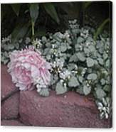Light  Pink  Peonies Canvas Print