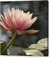 Light Pink Water Lily Canvas Print