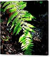 Light Play On Fern Canvas Print