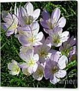 Light Purple Crocus Flowers In Spring Canvas Print