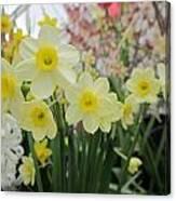 Light Yellow Daffodils Canvas Print
