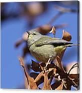Lil' Bit - Orange-crowned Warbler Canvas Print