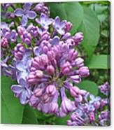 Lilac Buds And Blossoms Canvas Print