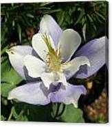 Lilac Columbine Canvas Print