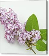 Lilac Flowers - White Background Canvas Print