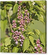Lilac In Spring Canvas Print