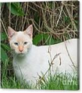 Lilac Point Siamese Cat Canvas Print