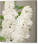 Lilac (syringa Vulgaris 'angel White') In Flower Canvas Print