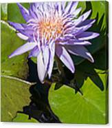Lilac Water Lily Canvas Print