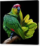 Lilacine Amazon Parrot Isolated On Canvas Print