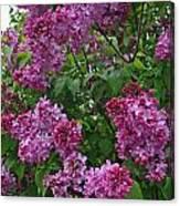Lilacs At Hulda Klager Lilac Garden Canvas Print