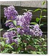 Lilacs Up Against The Wall Canvas Print