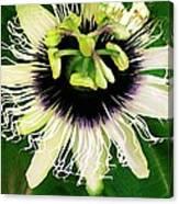 Lilikoi Flower Canvas Print
