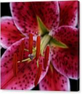 Lilium Pink Stargazer Canvas Print
