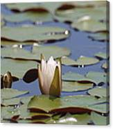Lilly Pad With Bloom Canvas Print