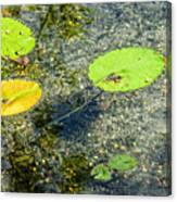 Lily Leafs On The Water Canvas Print