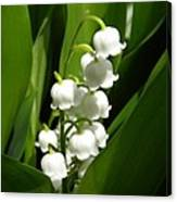 Lily Of The Valley 1 Canvas Print