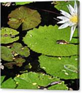 Lily Pads And Lotus Flower Canvas Print