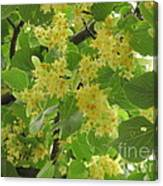 Lime Trees In Bloom  Canvas Print