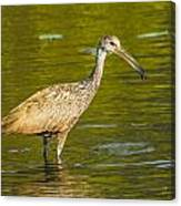 Limpkin With A Snack Canvas Print