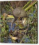 Limpkin With Lunch Canvas Print