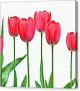 Line Of Tulips Canvas Print