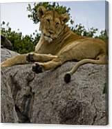 Lion   #1646 Canvas Print