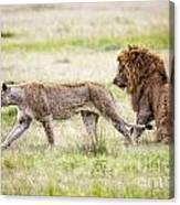 Lion Couple Canvas Print