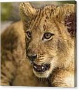 Lion Cub Close Up Canvas Print