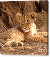 Lion Cub Panthera Leo Canvas Print