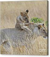 Lion Cub Playing With Female Lion Canvas Print