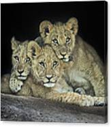 Three Lion Cubs Canvas Print