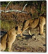 Lion Cubs Of Zimbabwe  Canvas Print