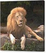 Lion Hanging Out Two Canvas Print