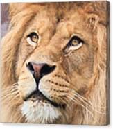 Lion In Deep Thought Canvas Print