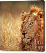 Lion In Grass Canvas Print